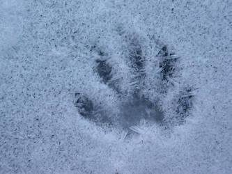 Raccoon Track On Ice Covered Marsh by EllieMaeCrockett