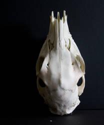 Sika Deer Skull top stock 3