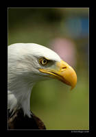 american eagle by strangelight