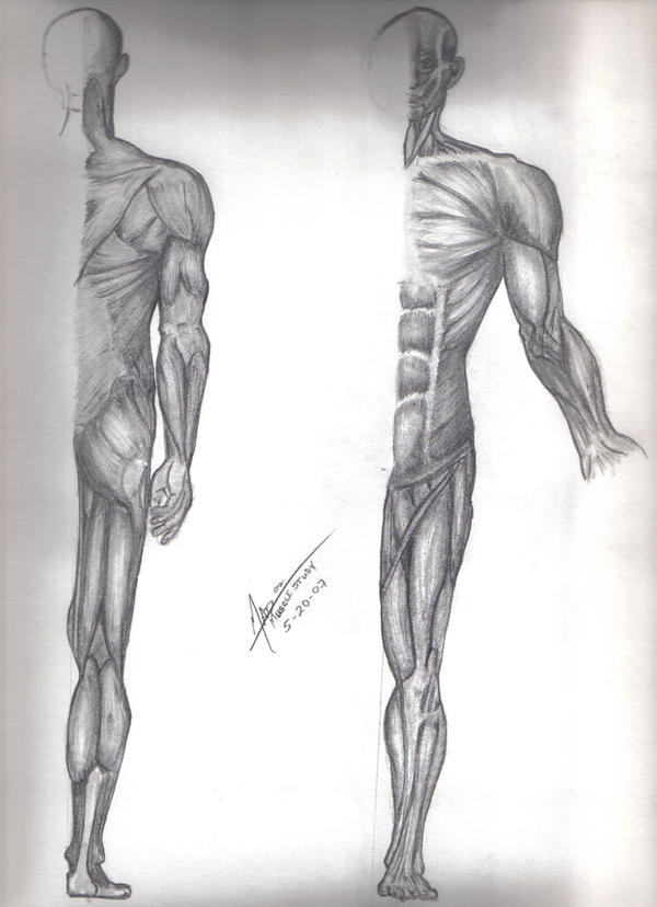 muscular system study by dreylor on deviantart, Muscles