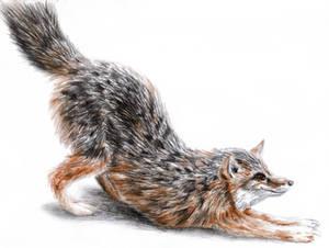 Swift Fox Downward Facing Dog