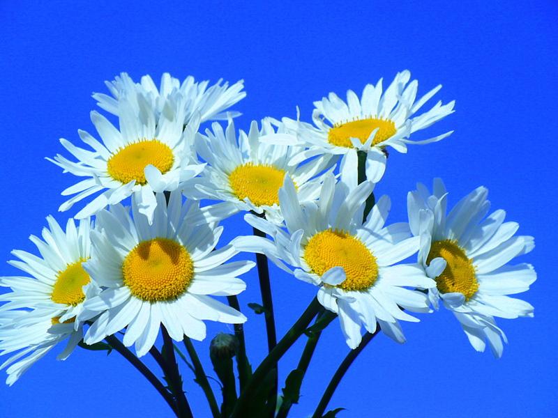 Kwiaty margaretki by ewax100