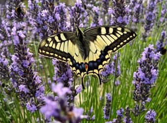Swallowtail Marije by marijeberting