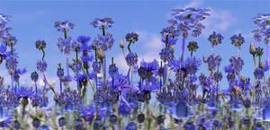 Cornflowers by marijeberting
