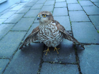Young sparrow-hawk flew into the window ... by marijeberting