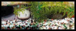 axolotls in their shelter