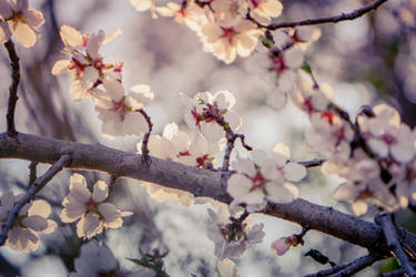 Blossoms at Pena Adobe by WickedOwl514