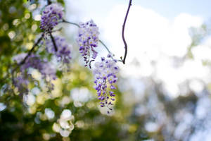 Wisteria by WickedOwl514