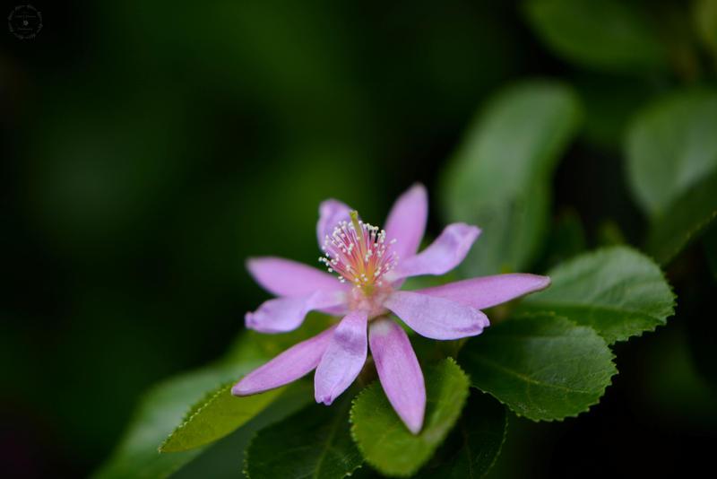 Grewia Occidentalis (Lavender Star Flower) by WickedOwl514 ...