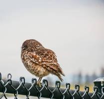 Little Owl by WickedOwl514