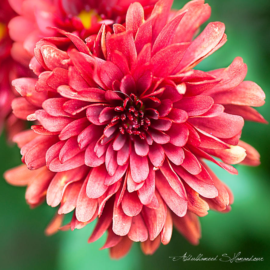 Flower Of The Month November Chrysanthemum By Flowers