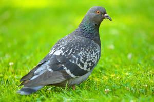 Dove by ashamandour