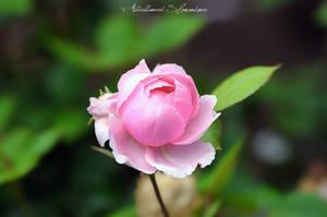 Pink by ashamandour