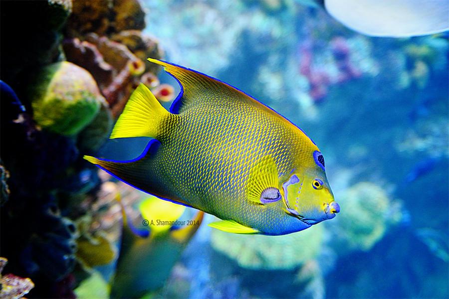 Yellow tropical fish by ashamandour on deviantart for Polygonalplatten quarzit tropical yellow