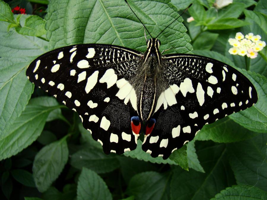 Butterfly VI by AmByyY