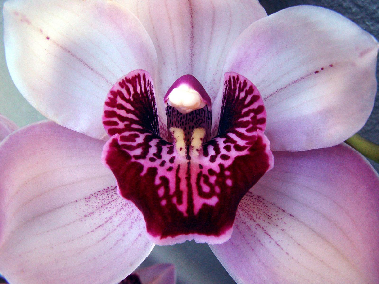 Cataleya-Orchid by sunilk2020