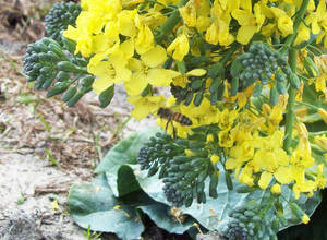 Flowering Broccoli, with Bee