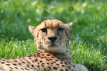 cheeta 2 by Bleurosea2