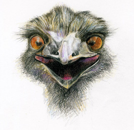 Emu Illustration by Unmentionables