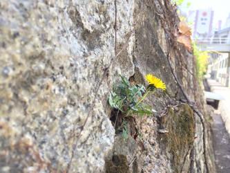 Dandelion on wall by sh20000sh