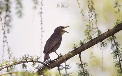 Singing bird by esecret