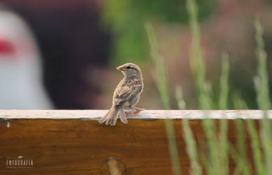 Sparrow on the bench by esecret