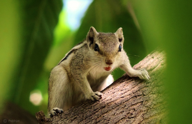 Indian Palm Squirrel by Prabhjot-Singh on DeviantArt