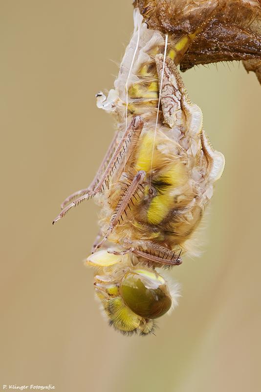 Libellula quadrimaculata birth by Aphantopus