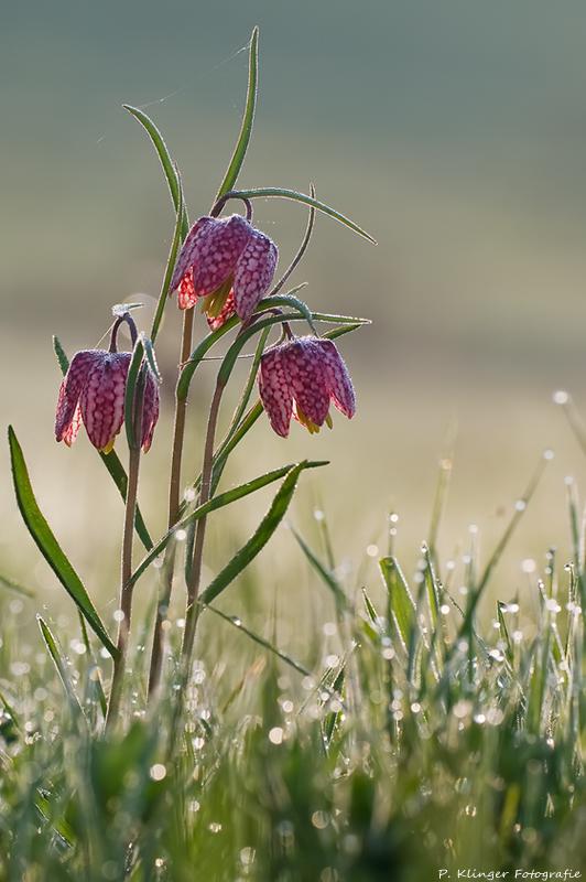 Fritillaria meleagris VII by Aphantopus