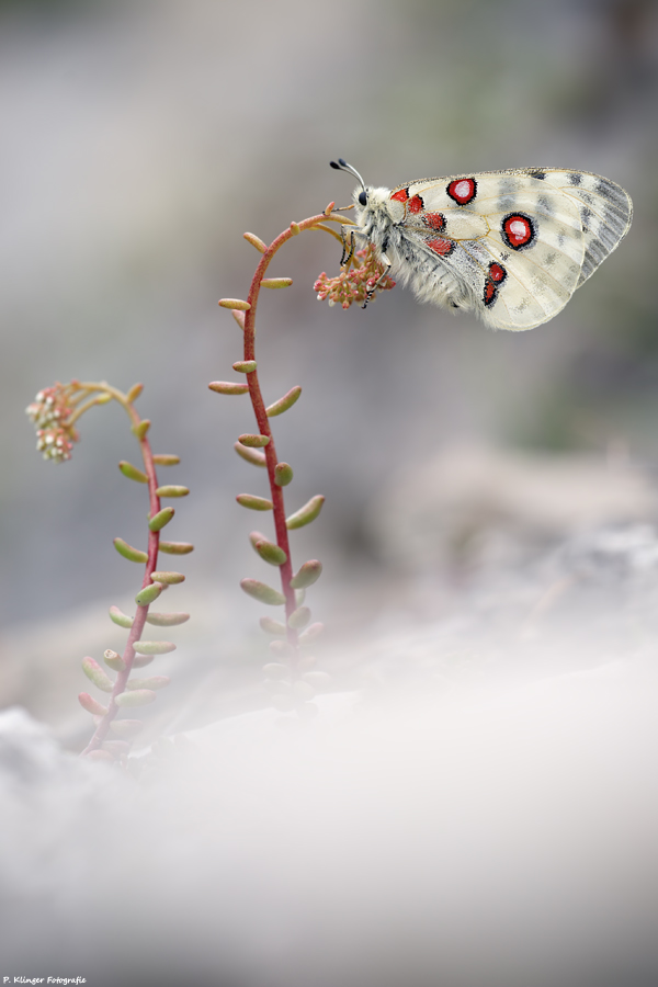 Parnassius apollo 2011 IV by Aphantopus
