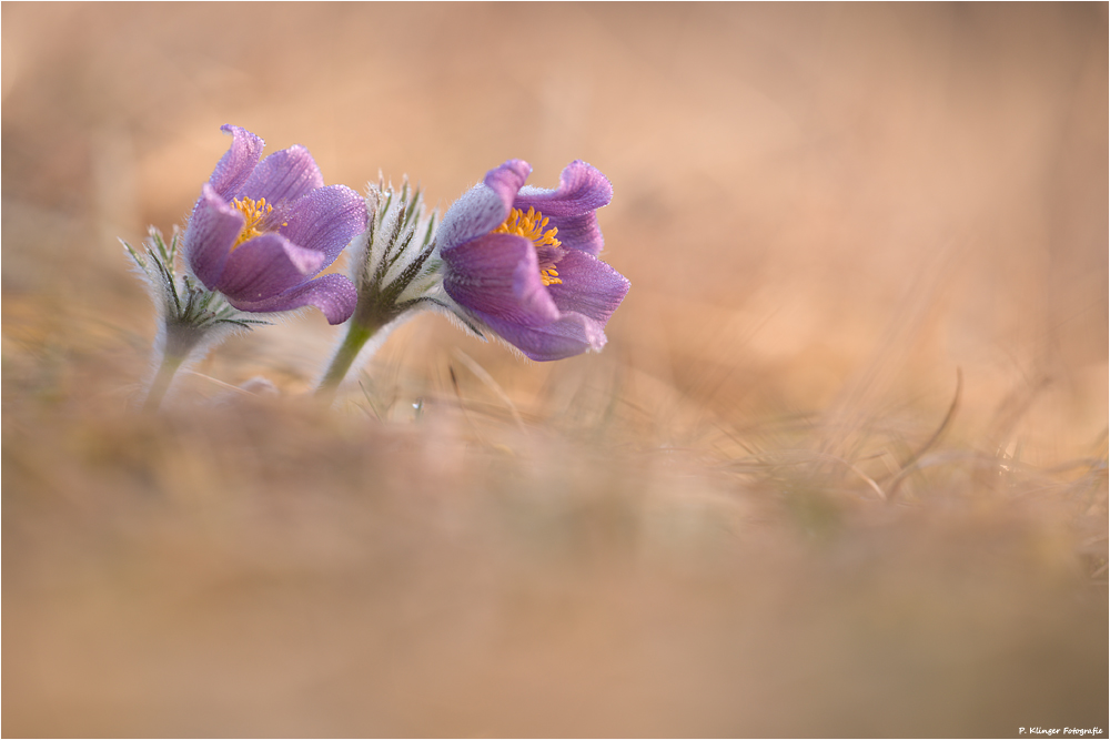 Pulsatilla vulgaris 2012 II by Aphantopus