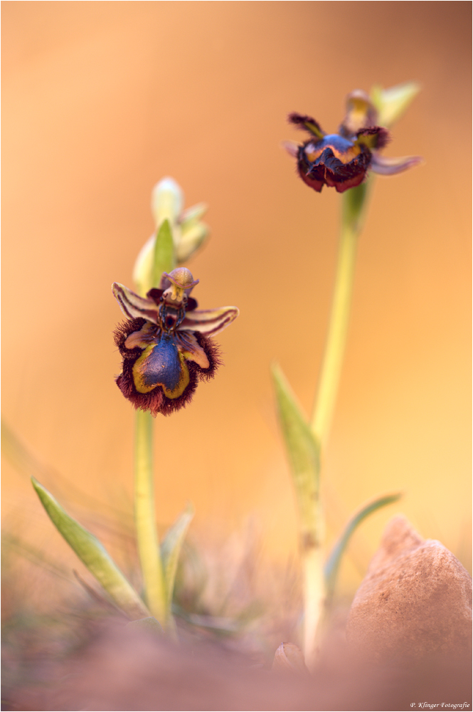 Ophrys speculum 2012 by Aphantopus