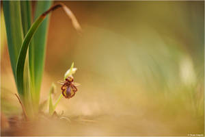 Ophrys speculum 2012 II by Aphantopus
