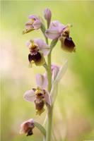 Ophrys tenthredinifera 2012 II by Aphantopus
