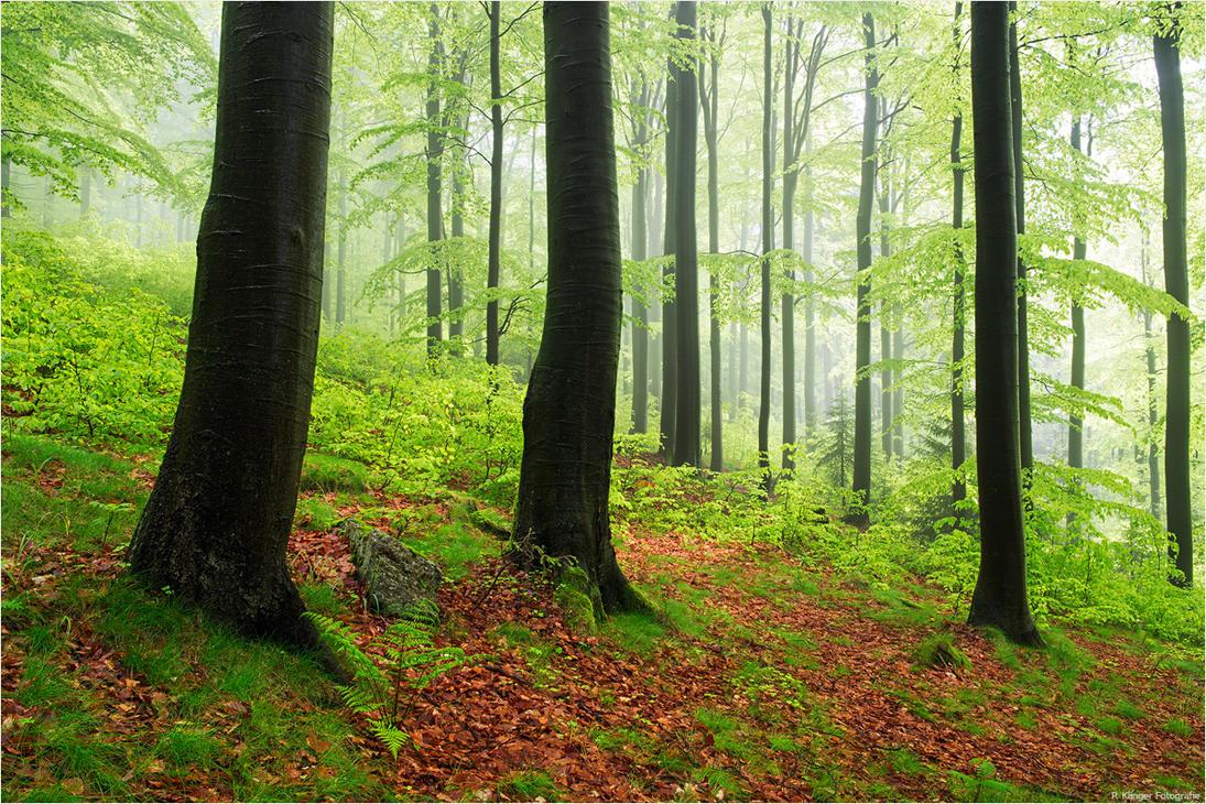 Beech-rainforest by Aphantopus