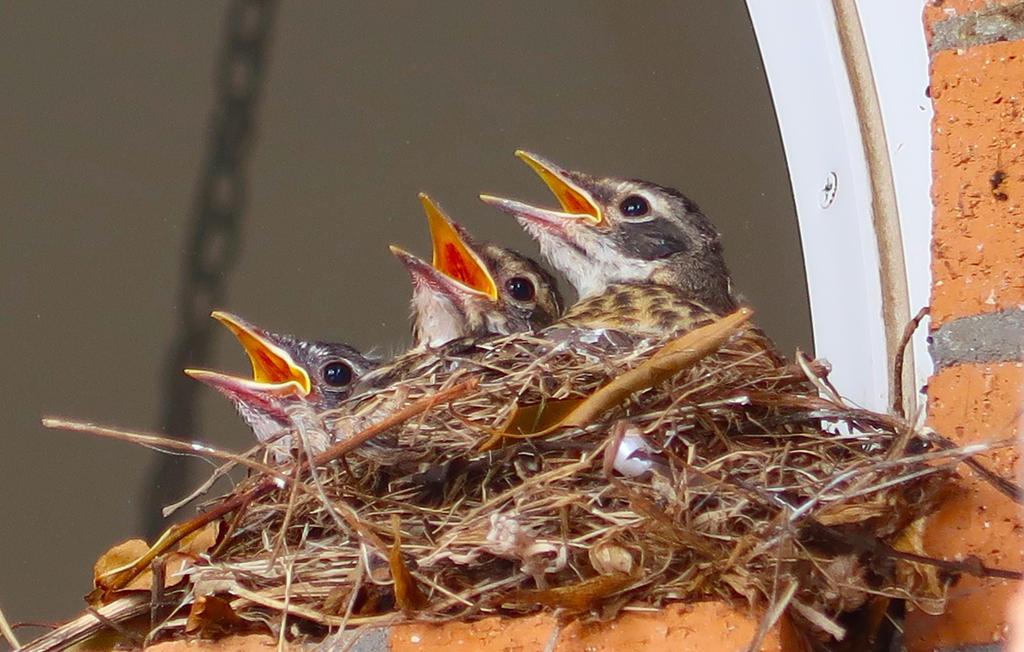 3 Robin Chicks by AmaniWarrington
