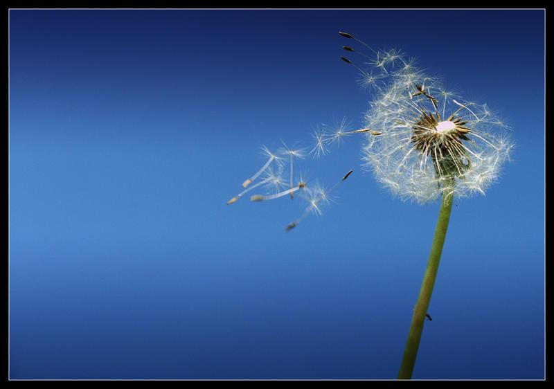 Dandelion by baraniaczek