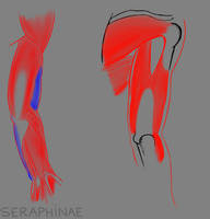 Arm Muscle Study by Seraphinae