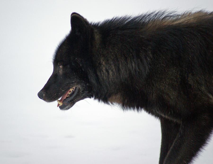 http://fc02.deviantart.net/fs71/i/2010/342/7/2/romeo_the_wolf_by_akshelby-d2m3ptp.jpg