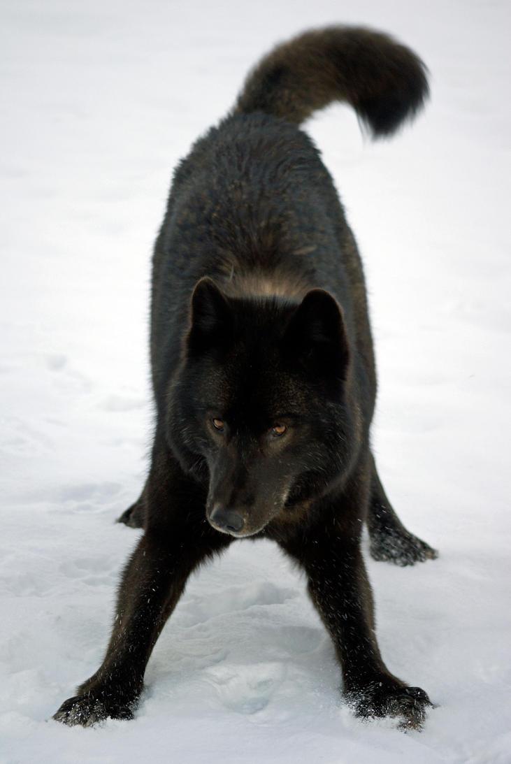 http://th03.deviantart.net/fs70/PRE/i/2011/187/e/c/wolf_playing_by_akshelby-d2m3pxj.jpg