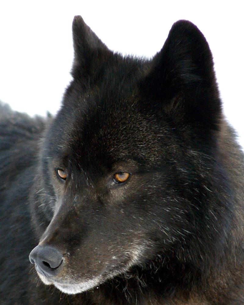 http://pre01.deviantart.net/e713/th/pre/i/2010/342/1/5/wolf_close_up_by_akshelby-d2m3q76.jpg