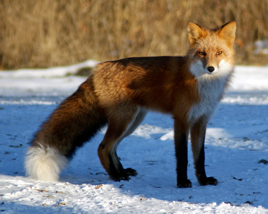 Fluffy-tailed fox by akshelby on DeviantArt