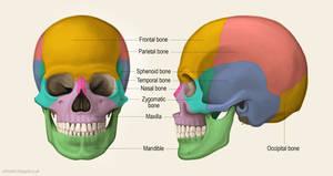 Major bones of the skull