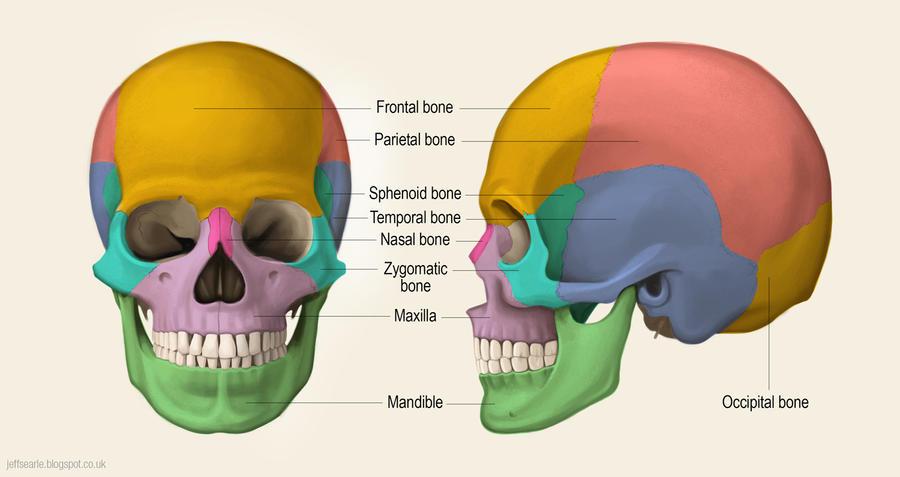 Major bones of the skull by JeffSearle on DeviantArt