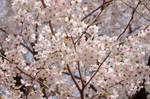 Cherry Blossoms by SammiStock