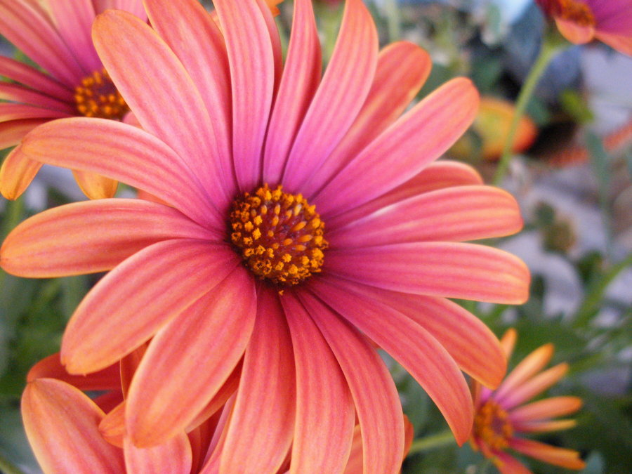 Pink orange flower by sammistock on deviantart pink orange flower by sammistock mightylinksfo