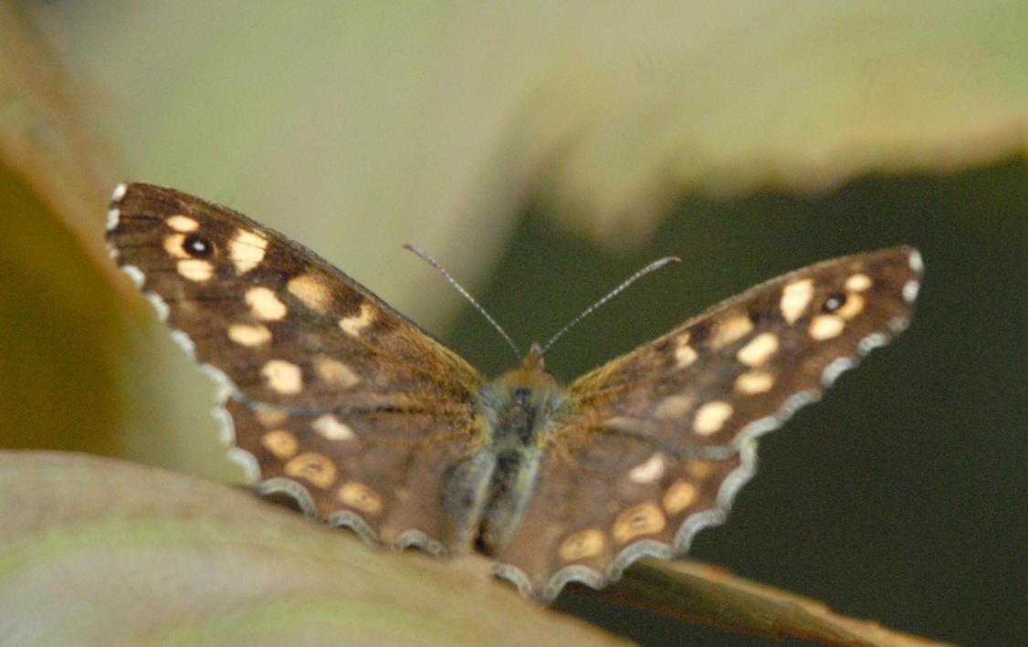 Butterfly by Meluzina81