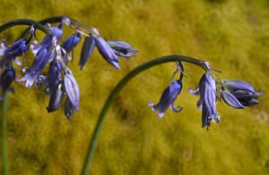 Bluebells by Meluzina81