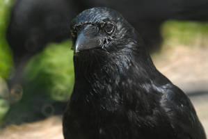 Greasy Crow by Meluzina81