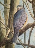 Sparrowhawk by Leogon